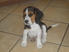Süsse tricolor beagle Welpe sucht neue Zuhause:-)
