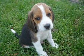 Süsse tricolor beagle welpen - KOSTENLOSE LIEFERUNG!