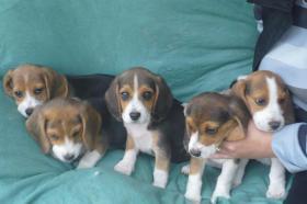 Foto 2 S�sse tricolor beagle welpen - KOSTENLOSE LIEFERUNG!