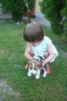 Foto 3 S�sse tricolor beagle welpen - KOSTENLOSE LIEFERUNG!