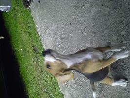 Foto 5 Süsse tricolor beagle welpen - KOSTENLOSE LIEFERUNG!