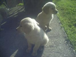 Foto 6 Süsse tricolor beagle welpen - KOSTENLOSE LIEFERUNG!