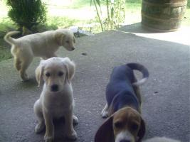 Foto 8 Süsse tricolor beagle welpen - KOSTENLOSE LIEFERUNG!