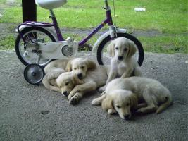 Foto 9 Süsse tricolor beagle welpen - KOSTENLOSE LIEFERUNG!