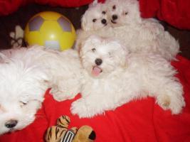 Foto 3 Süsse  Malteser- Babys