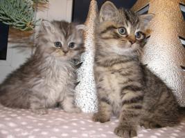 Süße, kleine Britisch Kurzhaar, Langhaar Kitten / Katzen