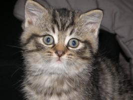 Foto 2 S��e, kleine Britisch Kurzhaar, Langhaar Kitten / Katzen