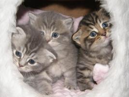 Foto 3 S��e, kleine Britisch Kurzhaar, Langhaar Kitten / Katzen