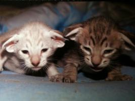 Süße, sehr menschenbezogene Siam und Orientalisch Kurzhaar Kitten