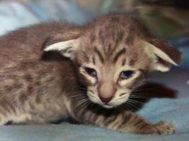 Foto 2 Süße, sehr menschenbezogene Siam und Orientalisch Kurzhaar Kitten