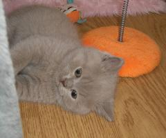 Foto 2 Süsse, verschmuste BKH Baby-Kitten