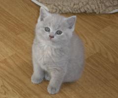 Foto 3 Süsse, verschmuste BKH Baby-Kitten