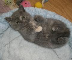 Foto 4 Süsse, verschmuste BKH Baby-Kitten