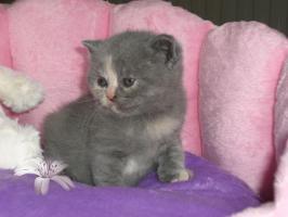 Foto 5 Süsse, verschmuste BKH Baby-Kitten