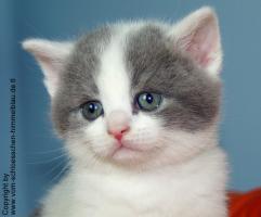 Süßer BKH Kater in blue-white-harlekin!!! - mit Stammbaum