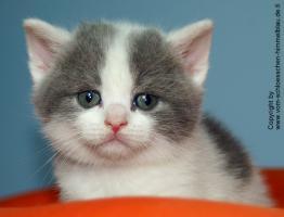 Foto 3 Süßer BKH Kater in blue-white-harlekin!!! - mit Stammbaum
