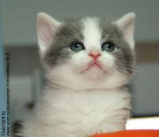 Foto 4 Süßer BKH Kater in blue-white-harlekin!!! - mit Stammbaum