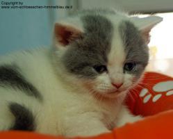 Foto 5 Süßer BKH Kater in blue-white-harlekin!!! - mit Stammbaum