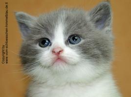 Süßer BKH Kater in blue-white!!! - mit Stammbaum