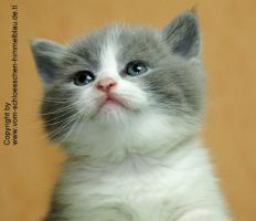 Foto 3 S��er BKH Kater in blue-white!!! - mit Stammbaum