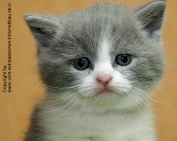 Foto 5 S��er BKH Kater in blue-white!!! - mit Stammbaum