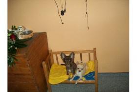 Foto 3 Süßer Chihuahua Schoko Rüde sucht ein nues zu Hause