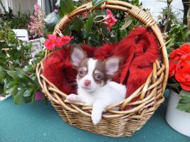 S��er Chihuahua-Welpe