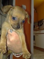 Süsser Chihuahua/mini Pinscher Rehpinscher abzugeben