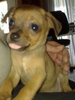 Foto 2 Süsser Chihuahua/mini Pinscher Rehpinscher abzugeben