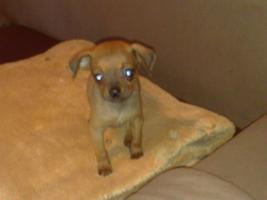 Foto 3 Süsser Chihuahua/mini Pinscher Rehpinscher abzugeben