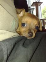 Foto 4 Süsser Chihuahua/mini Pinscher Rehpinscher abzugeben
