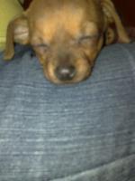 Foto 5 Süsser Chihuahua/mini Pinscher Rehpinscher abzugeben