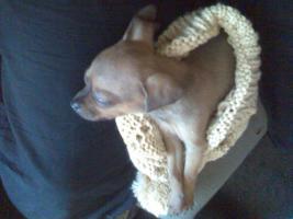 Foto 6 Süsser Chihuahua/mini Pinscher Rehpinscher abzugeben