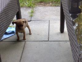 Foto 7 Süsser Chihuahua/mini Pinscher Rehpinscher abzugeben