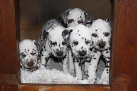 Foto 2 Süsser Dalmatiner-Welpe vom Züchter