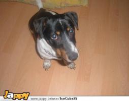 Süsser Jack Russel Terrier sucht ein nettes zuhause