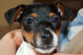 Foto 2 Süsser Jack Russel Terrier sucht ein nettes zuhause
