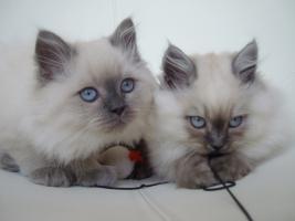 Foto 2 S��er Kater mit blauen Augen