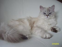 Foto 3 S��er Kater mit blauen Augen