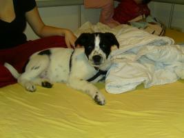 Süßer Labrador - Border Collie Mischling sucht liebevolles zuhause