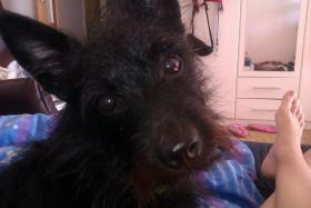 S��er Terrier-Spitz Mix in Schwarz