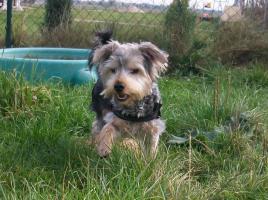 !!! Süßer Yorkshire Terrier mit Papiere und Zubehör !!!