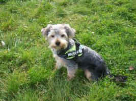 Foto 2 !!! Süßer Yorkshire Terrier mit Papiere und Zubehör !!!