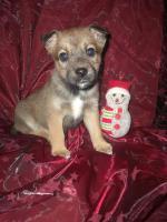 Süßer Yorkshire Terrier - Prager Rattler Welpe
