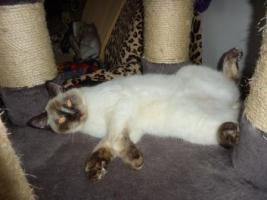 Süßes BKH-Kätzchen sucht zukünftiges Schmusepersonal