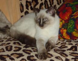 Foto 2 Süßes BKH-Kätzchen sucht zukünftiges Schmusepersonal