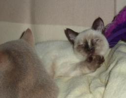Foto 3 Süßes BKH-Kätzchen sucht zukünftiges Schmusepersonal