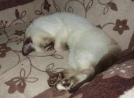 Foto 5 Süßes BKH-Kätzchen sucht zukünftiges Schmusepersonal
