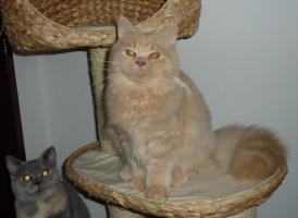 Süßes BLH-Kitten sucht zukünftiges Schmusepersonal