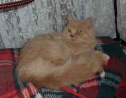 Foto 2 Süßes BLH-Kitten sucht zukünftiges Schmusepersonal